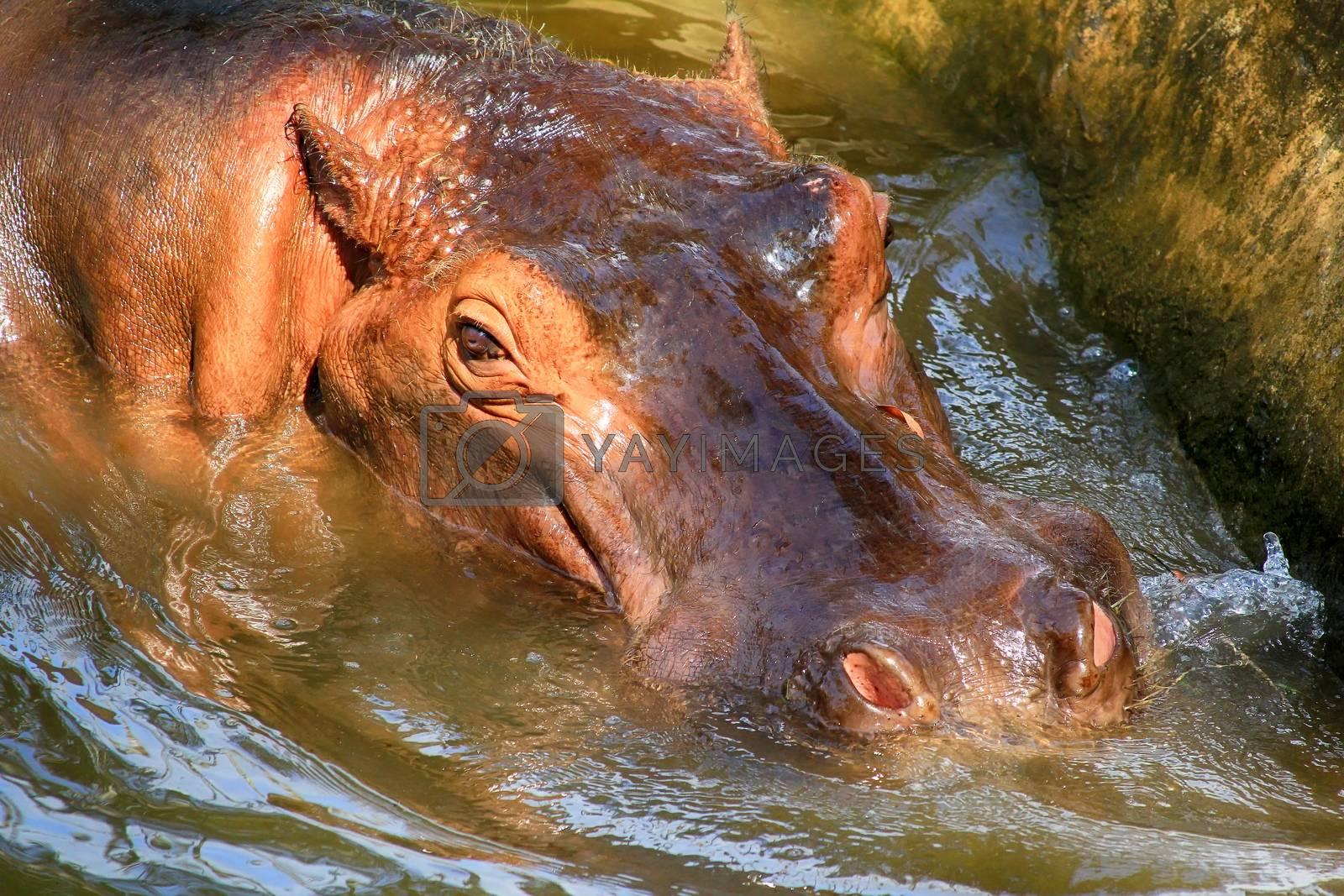 Hippopotamus, (Hippopotamus amphibius), head just above water, showing big eye and hairs on nostrils