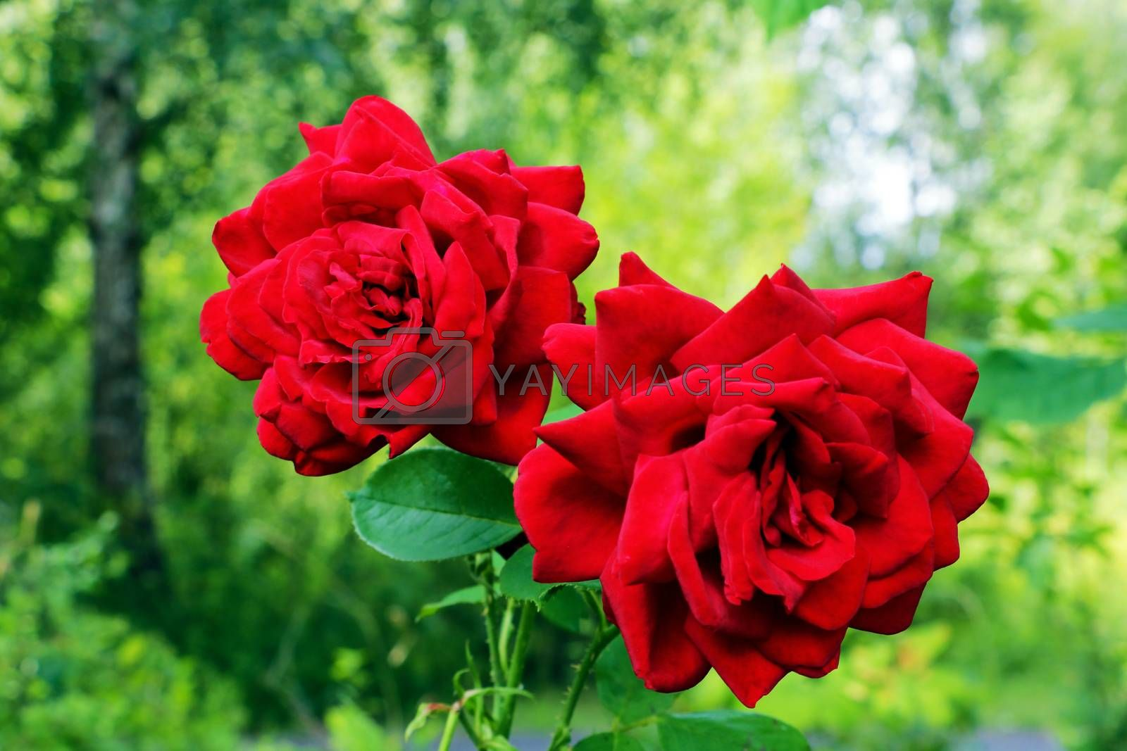 Red Roses on a bush in a garden. Nature