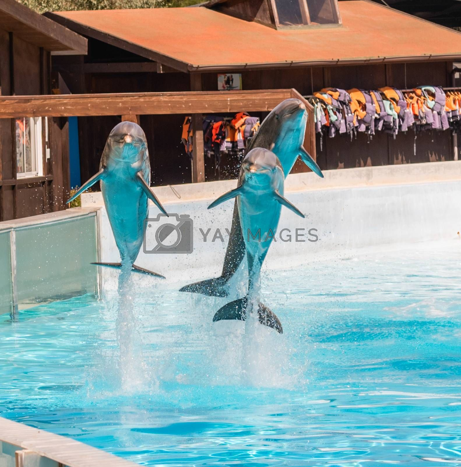 Three beautiful dolphins jumping in a swimming pool showing their acrobatic abilities