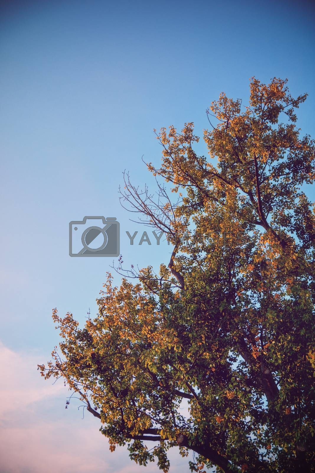 Beautiful top of a yellowing single with autumn colors and clear blue sky with pink clouds.