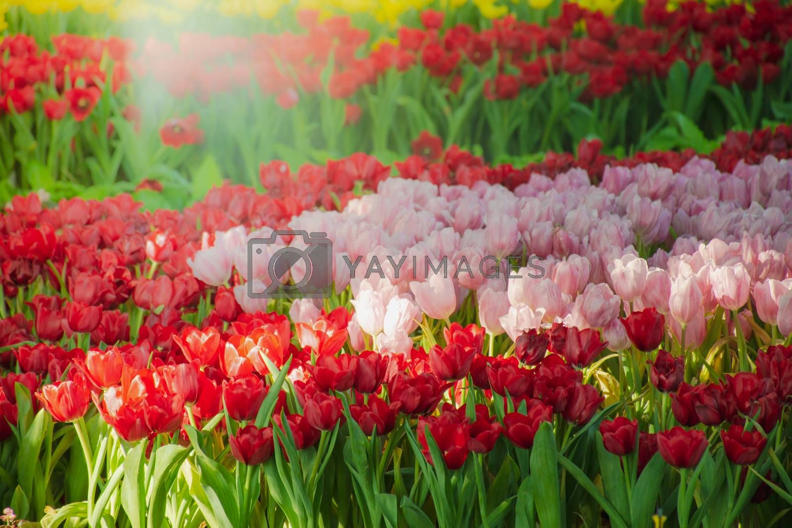 Royalty free image of Beautiful tulips in the blooming scene by anuraksir