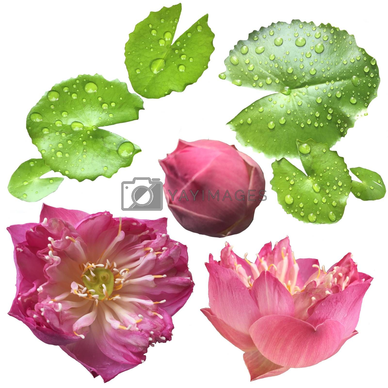 Lotus flower collection isolated on white background for graphic designs. Pink lotus flowers, lotus head and leaves isolated is blooming with copy space for text or advertising on white background