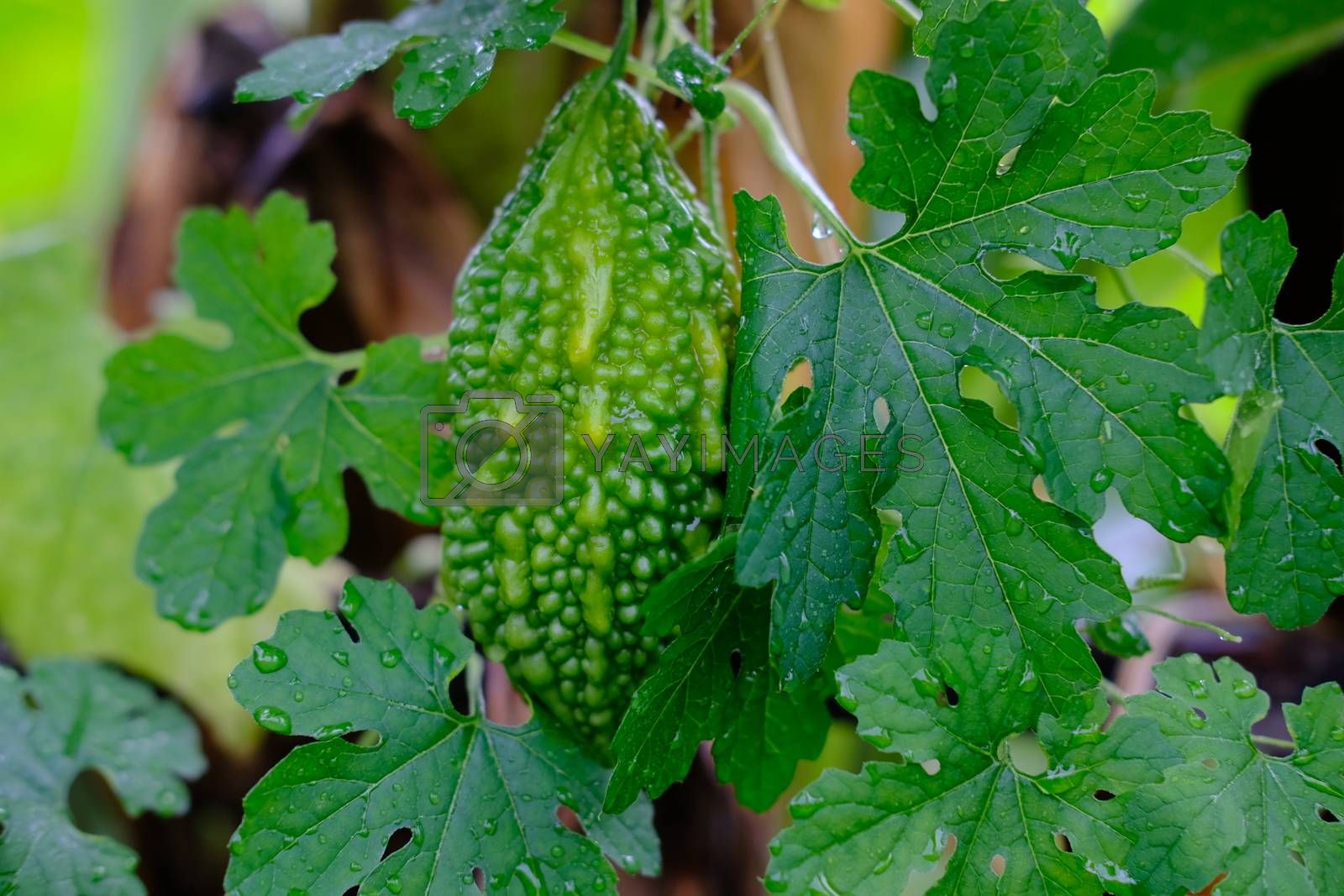 Young Bitter Melon Organic bitter gourd or bitter squas plants and leaves growing in a farm.