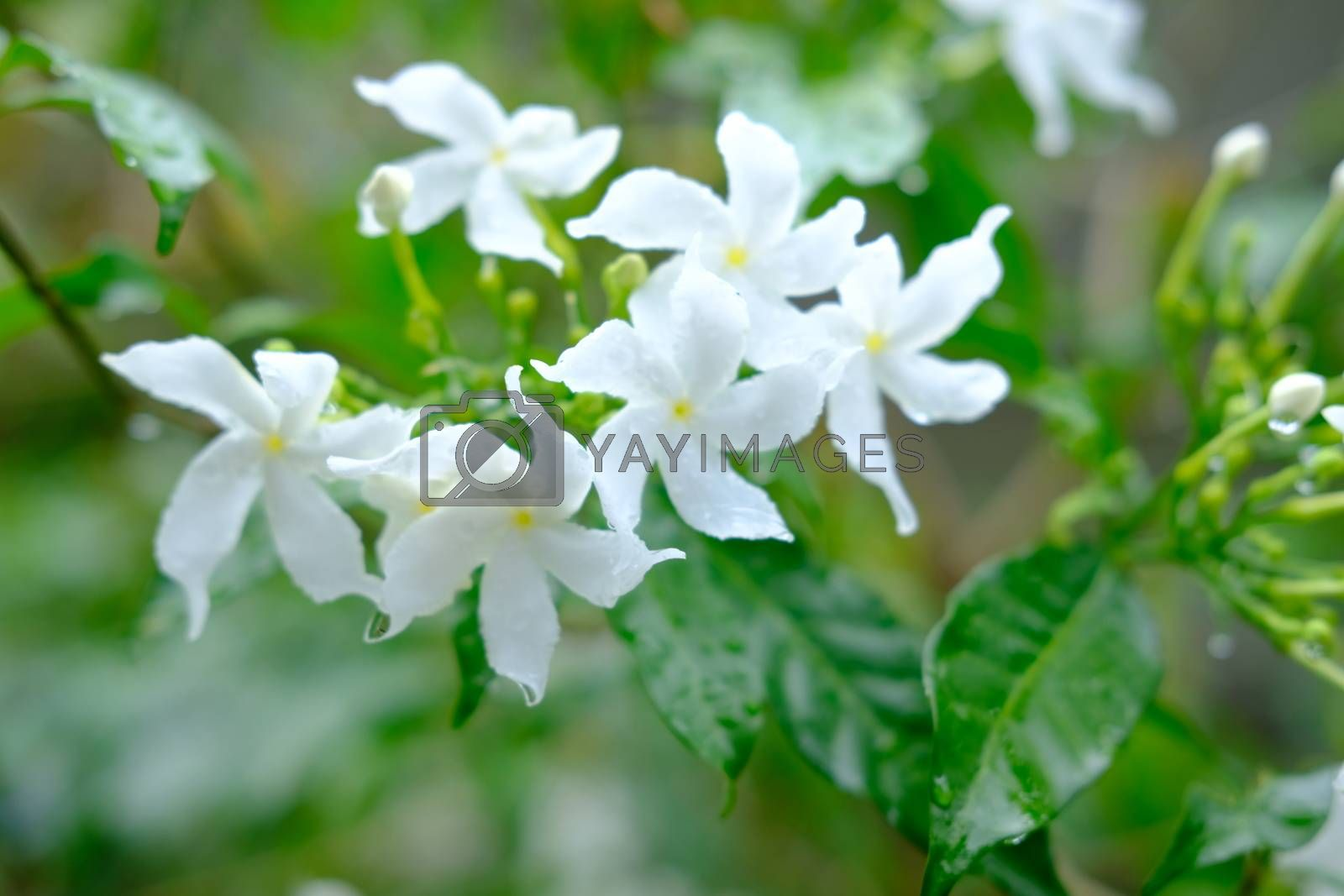Little white flowers Wrightia religiosa blooming on green leaves Selective focus close up. Water Jasmine after the rain with drops of water.