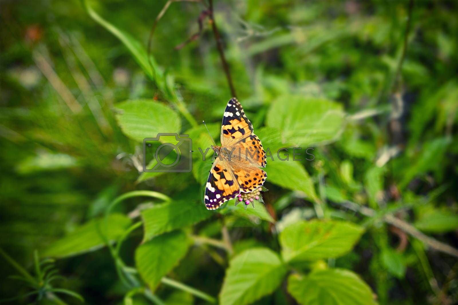 Vanessa Cardui butterfly on a pink flower in a green garden with the wings spread