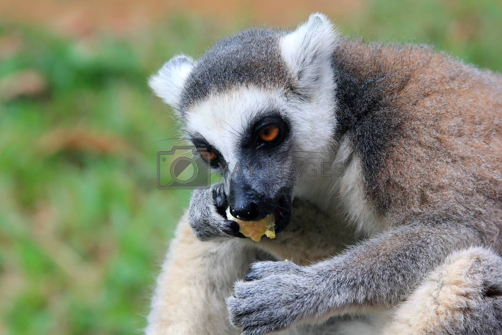 Portrait of a catta lemur close-up