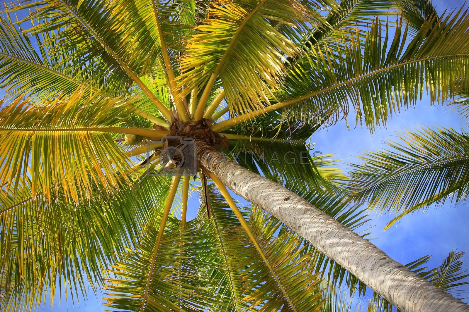 Royalty free image of Tree of a coco the bottom view by friday