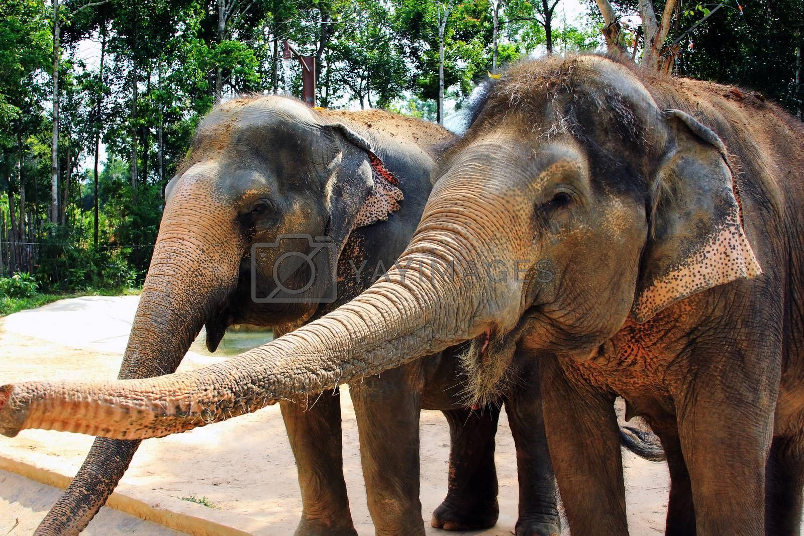 Close-up view of two Asiatic elephants, with muddy skin, standing very close to each other, touching their trunks on each other's faces, including inside the mouth. They are in a rural tropical setting, in southeast Asia.