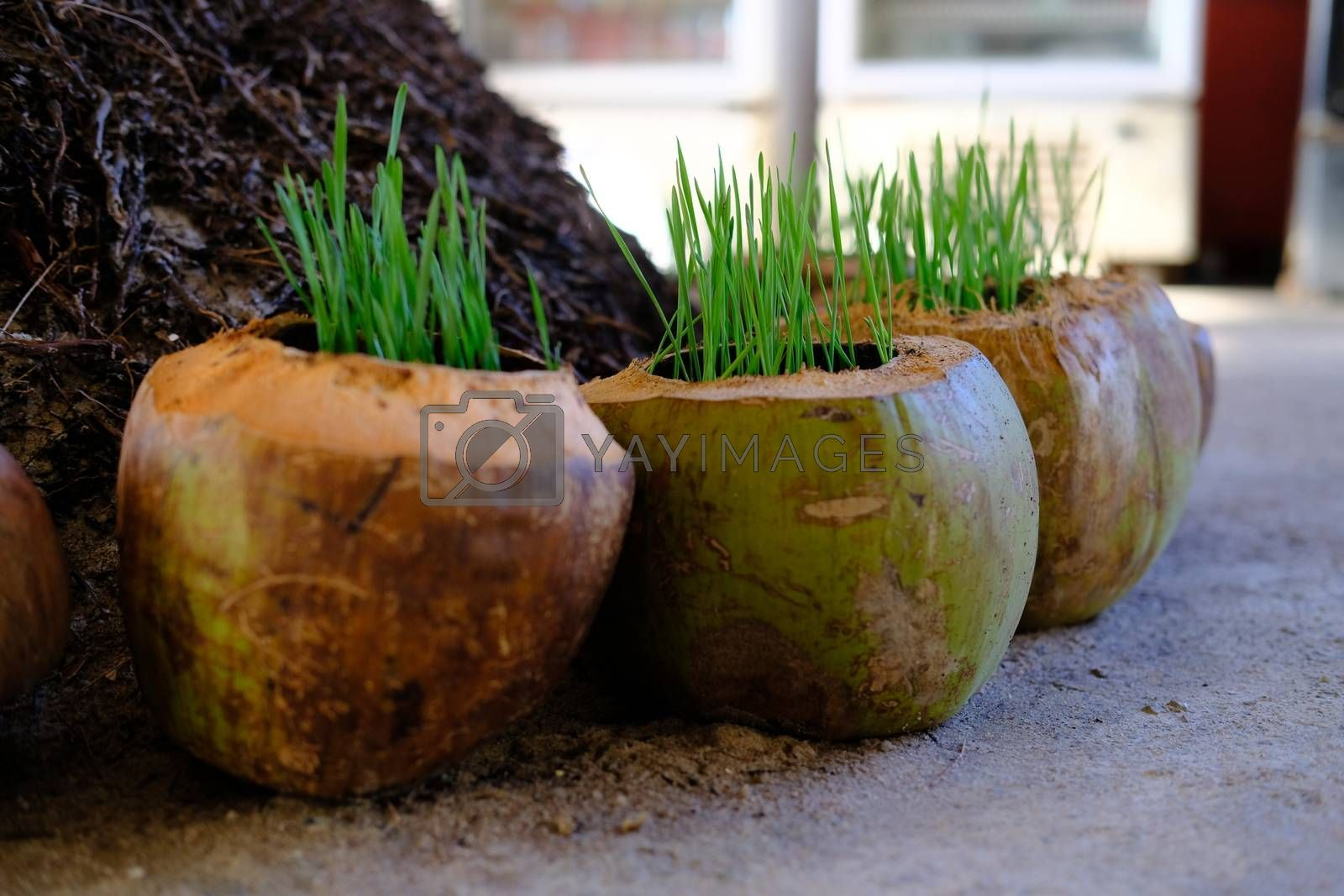 Closeup of Coconut Shell Planter Pot Container on the ground. Growing Fresh green grass in a coconut shells. Garden decoration.