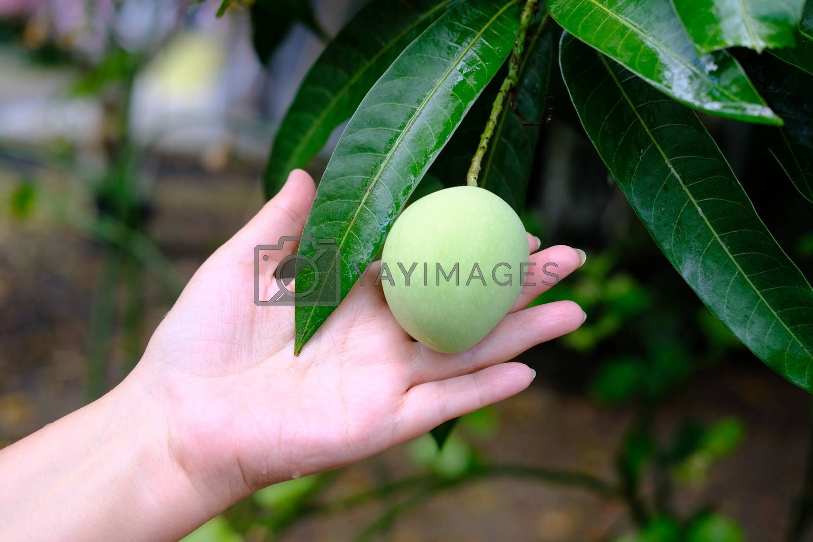 Small green mango fruit on the tree close up. Famale hand holding small sour mango. The concept of fresh fruits.
