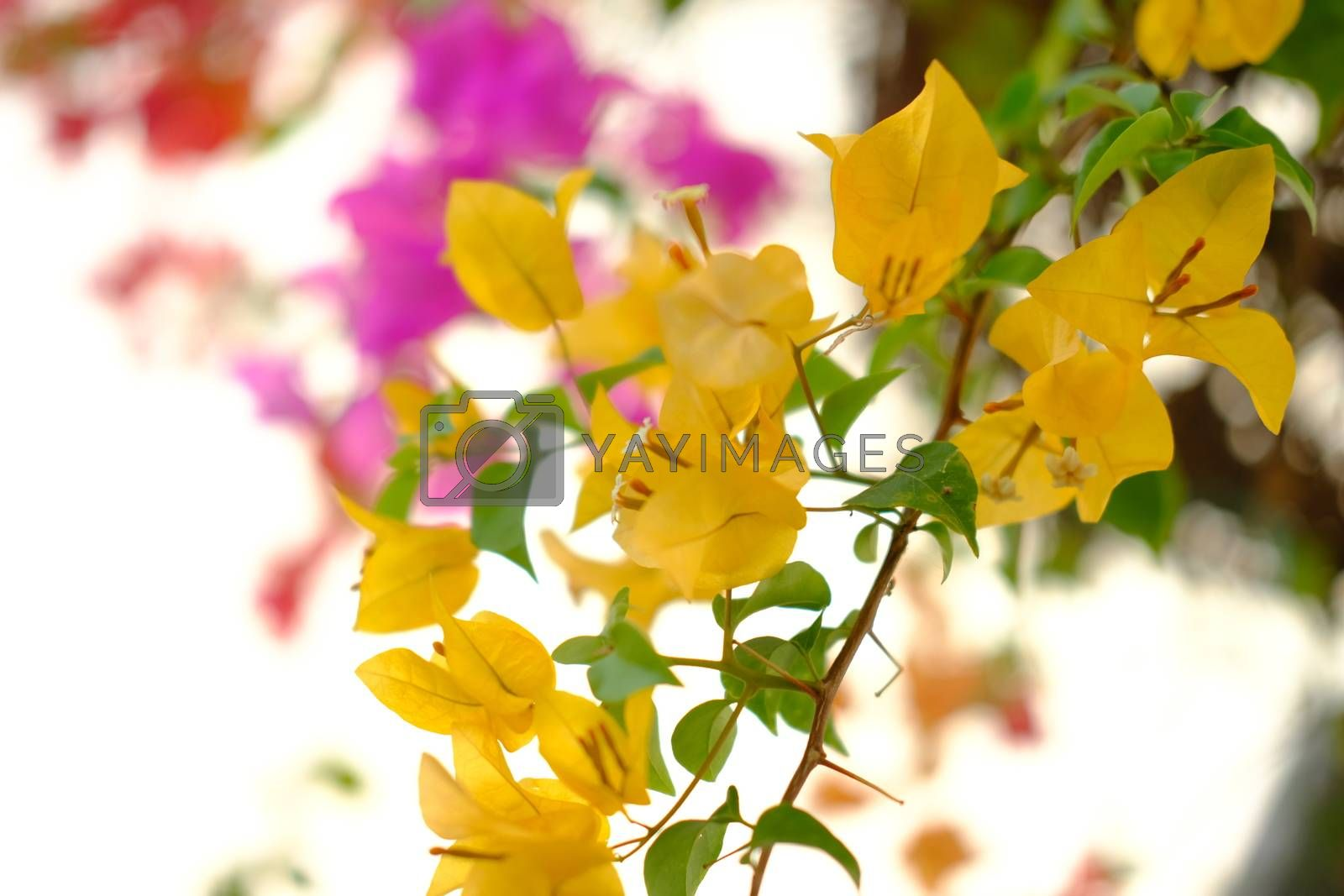 Blooming orange bougainvilleas closeup. Beautiful colorful abstract floral background.
