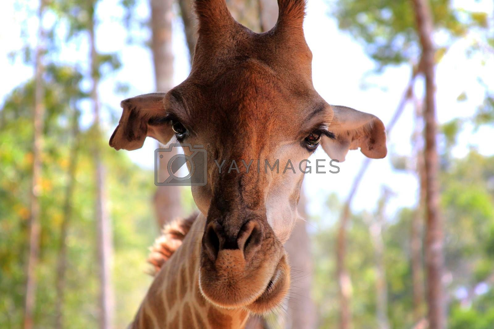 Close-up of a giraffe by friday