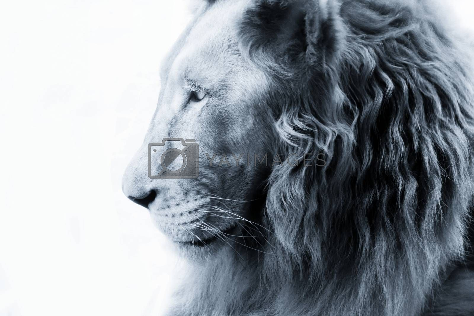 Portrait of a lion close-up