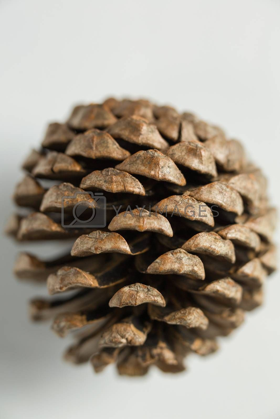 Pine cone on white background by Wavebreakmedia