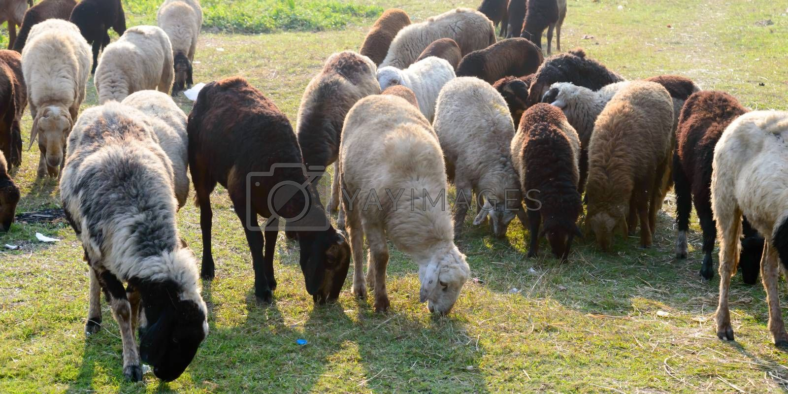 Flock of Domestic Sheep, Ewe, Lamb, Ram (Ovis aries species genus) grazing in a sheep farm in Summer Sunset. Typically livestock ruminant mammals. Artiodactyla family. Dairy cattle Background theme.
