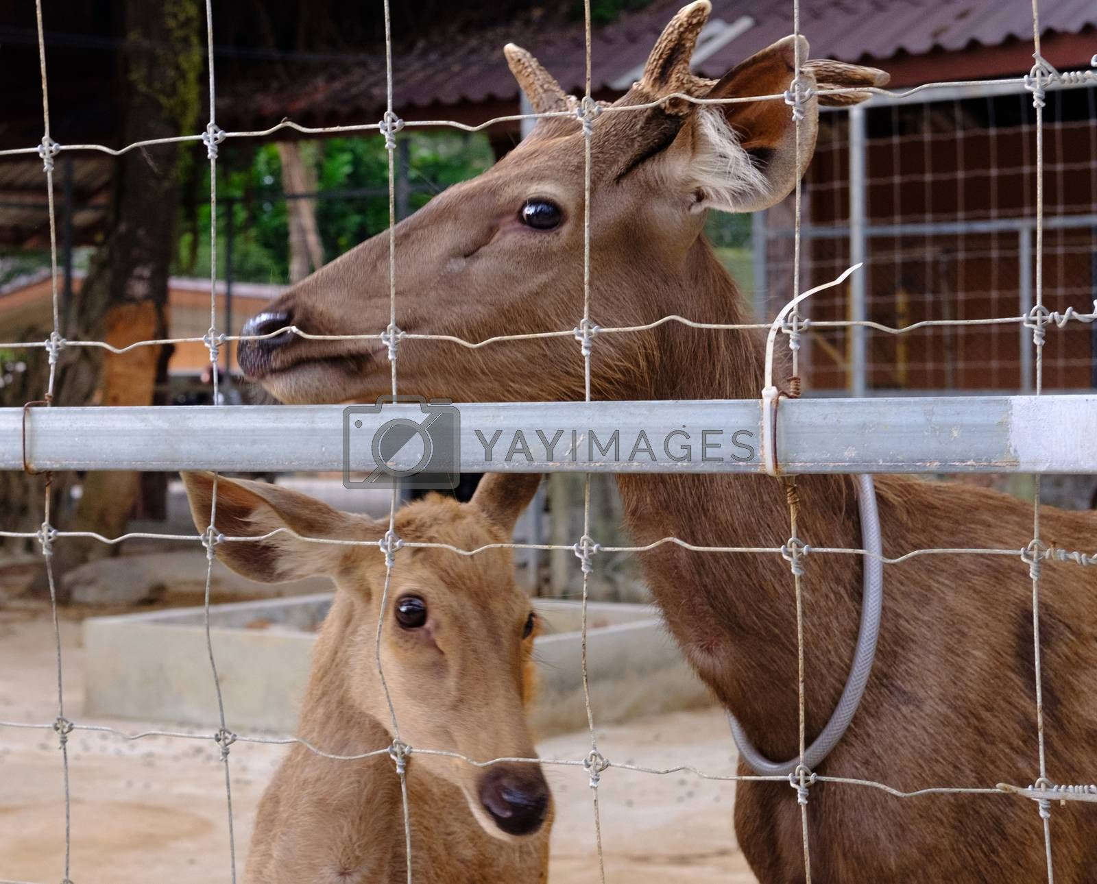 CloseUp of deer with looking sad eyes behind a wire fence. Life in captivity concept.