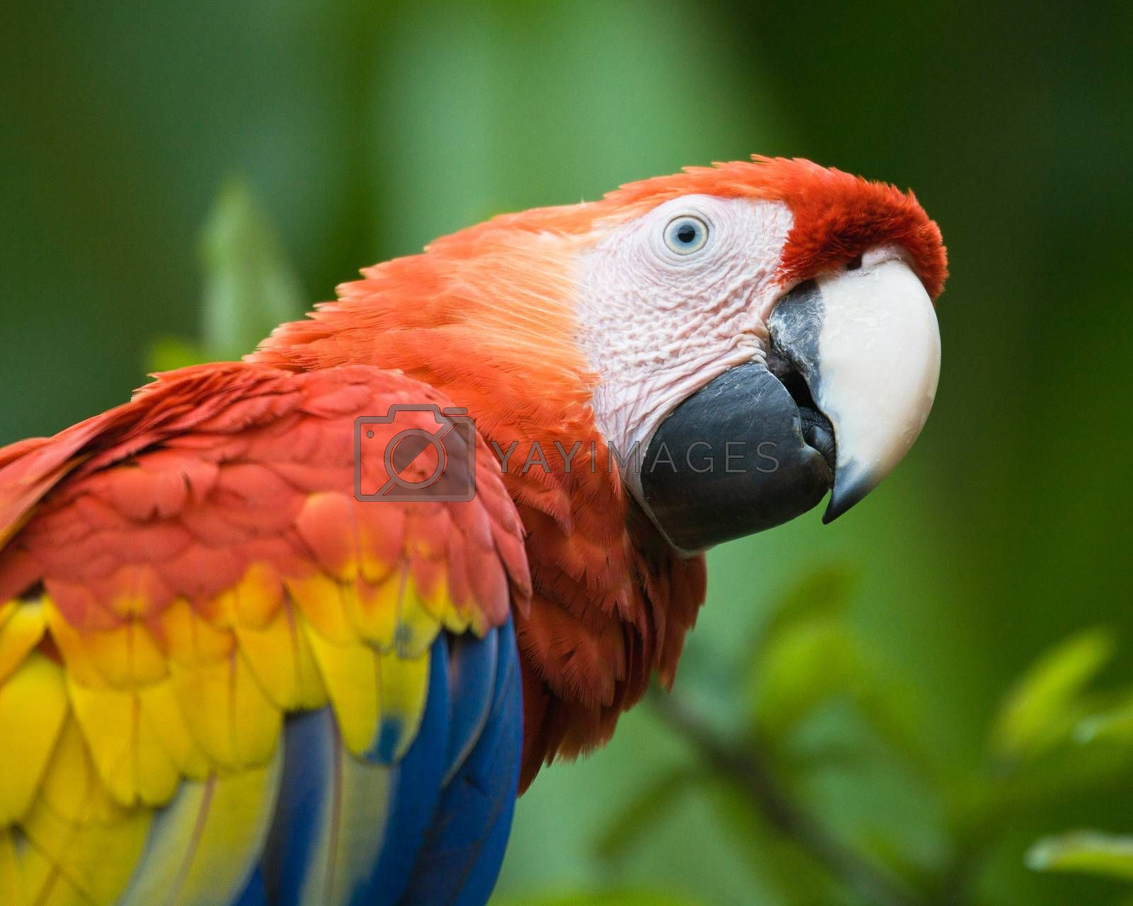 Scarlet Macaw living wild in Costa Rica.