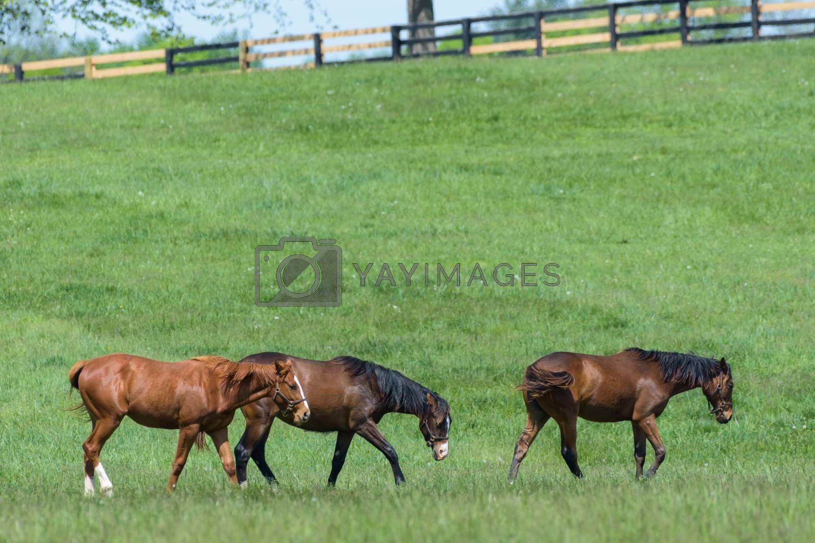Kentucky Thoroughbred Horse in Bluegrass Field by Gary Gray