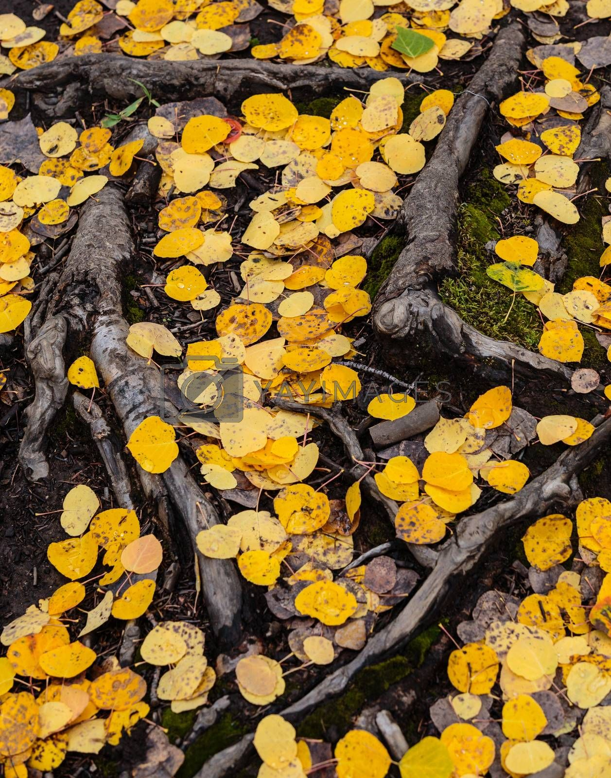 Aspen leaves scattered on the ground among tree roots.