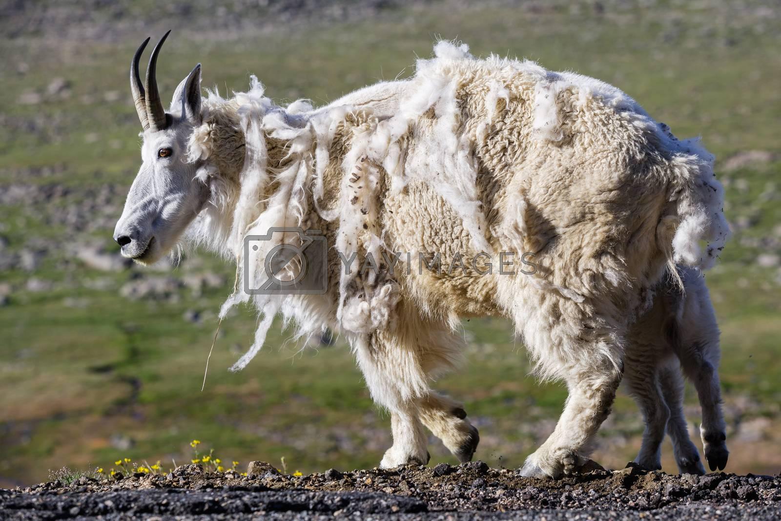 Wild Mountain Goats of the Colorado Rocky Mountains by Gary Gray