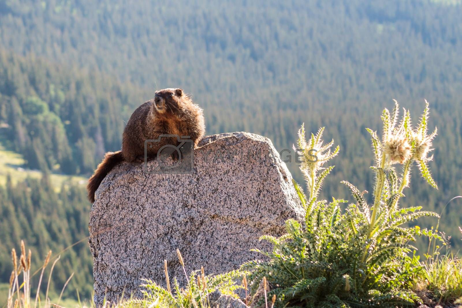 Marmot Resting on Rock at the Top of Mount Evans, Colorado by Gary Gray