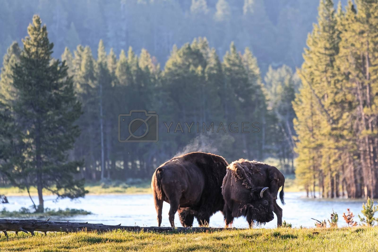 Genetically Pure Wild Bison in Colorado. Bison in a grass field.
