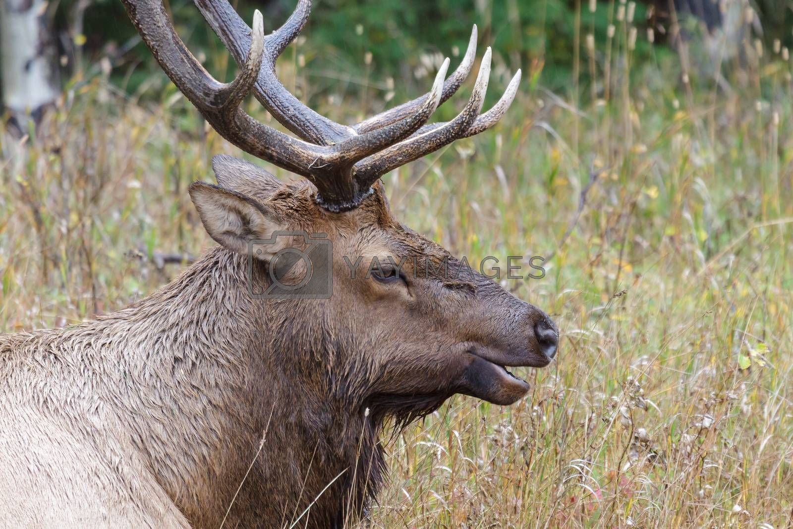 Wild Elk in the Rocky Mountains of Colorado