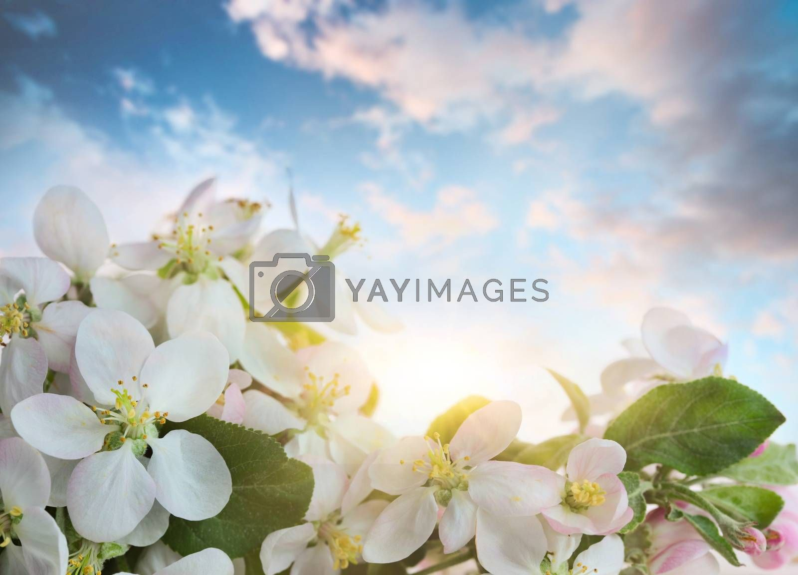 Apple blossoms against soft sky background