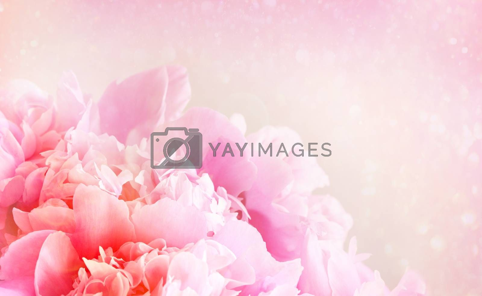 Closeup of peony flower on pastel background