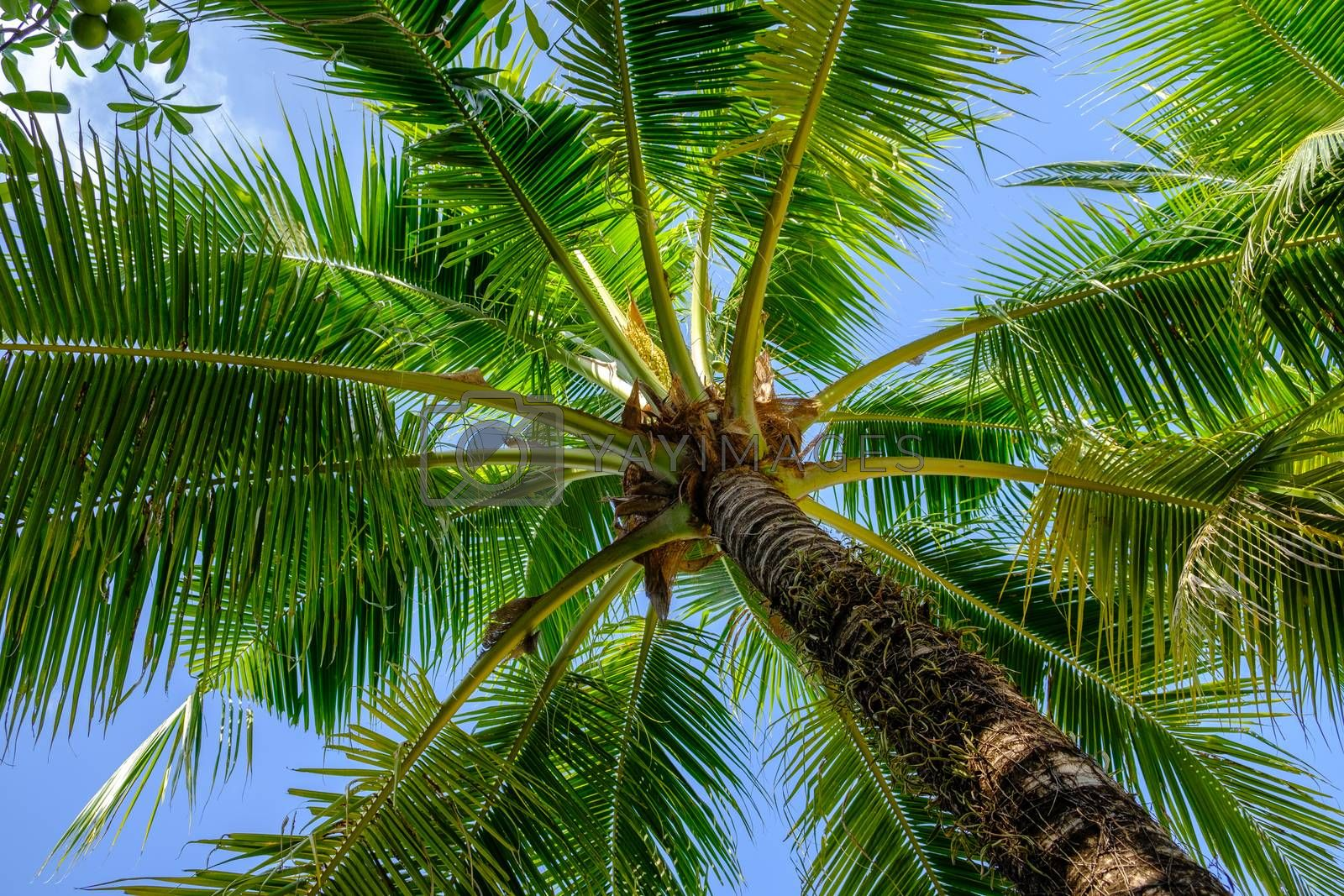 Closeup of branches of coconut palms under blue sky at sunny day. Palm tree view from below summer panoramic background.
