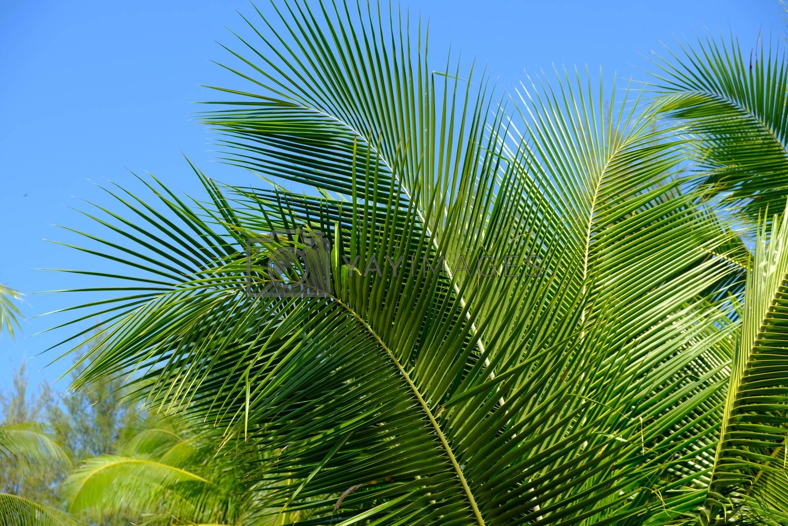 Beautiful tropical background Coconut Palm tree branch in the blue sky.
