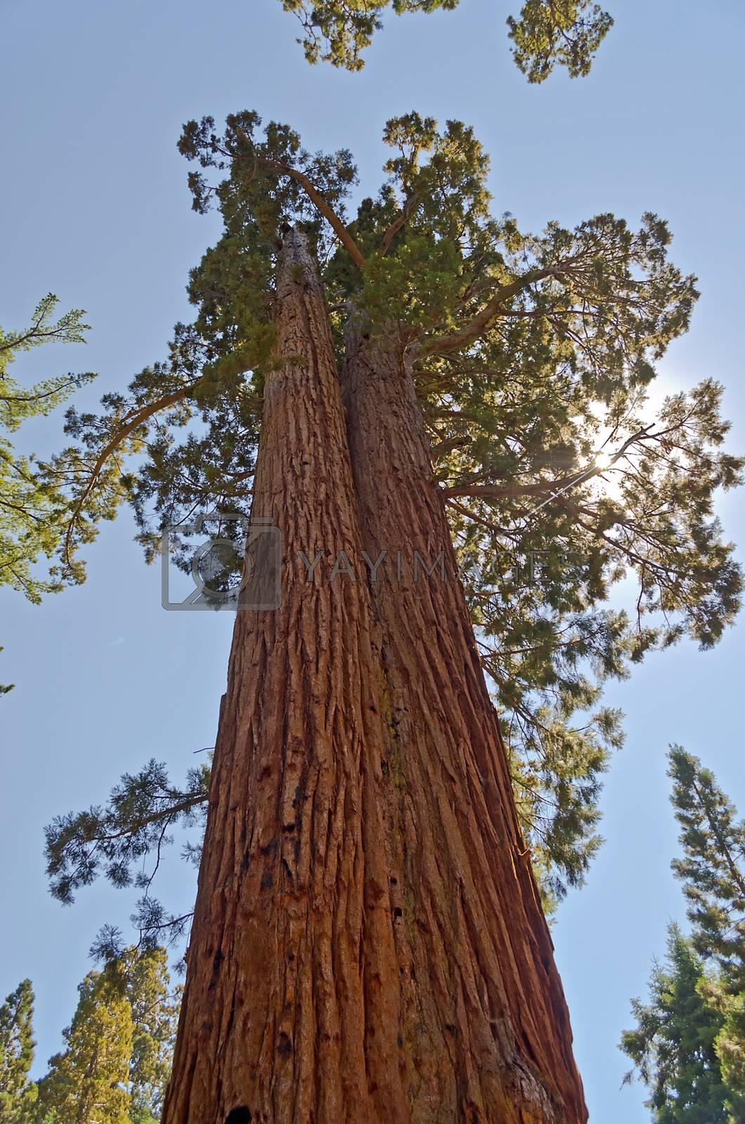 Giant Sequoias, Mariposa Grove in Yosemite National Park, California, USA