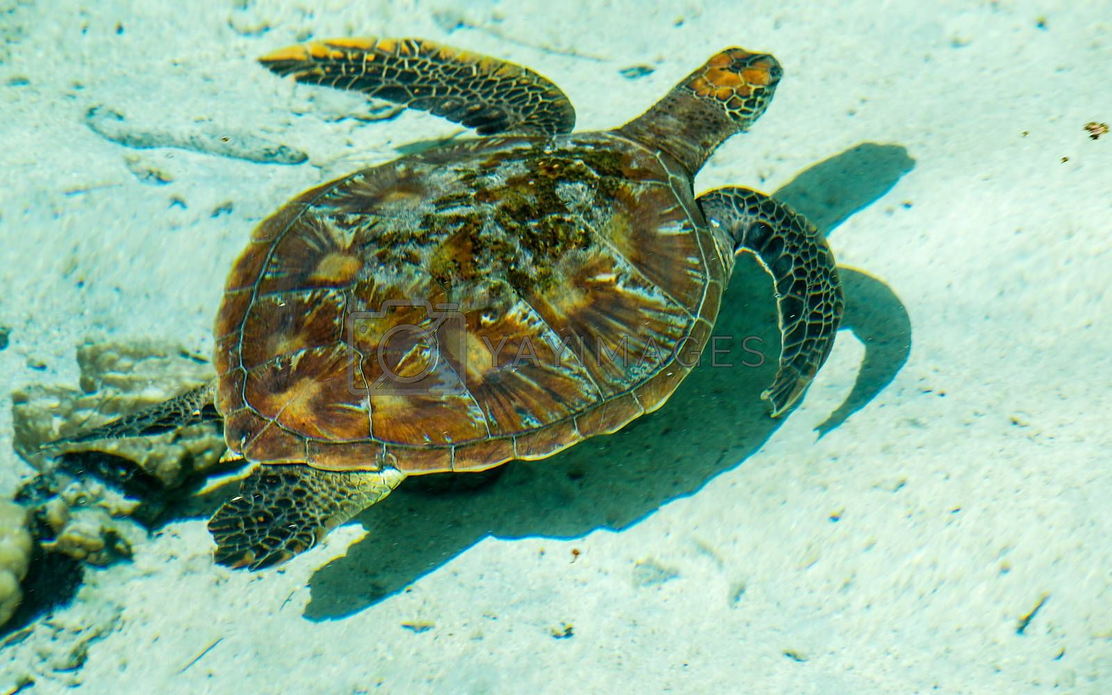 Sea turtle floating in the turquoise lagoon of Moorea, French Polynesia