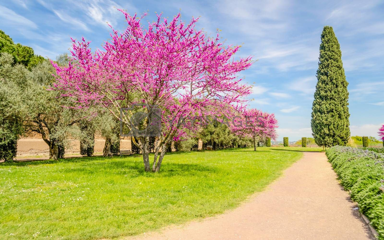 Beautiful garden with flowered cherry trees, cypresses and olive by Marco Rubino