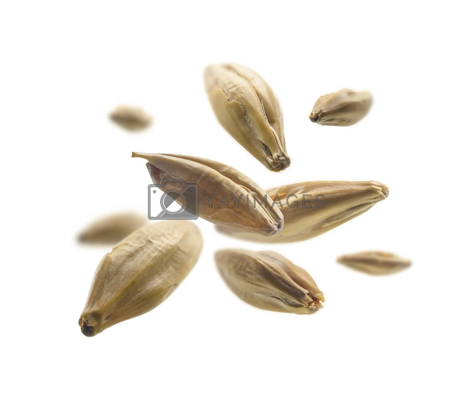 Barley malt grains levitate on a white background.