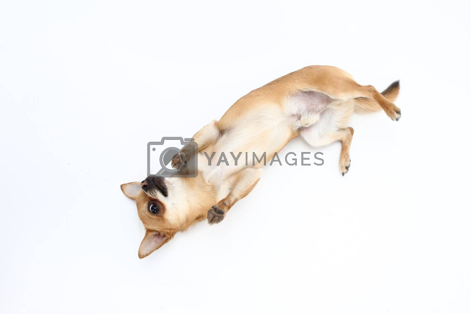 dog on white background playing and showing off his tricks in the photo studio