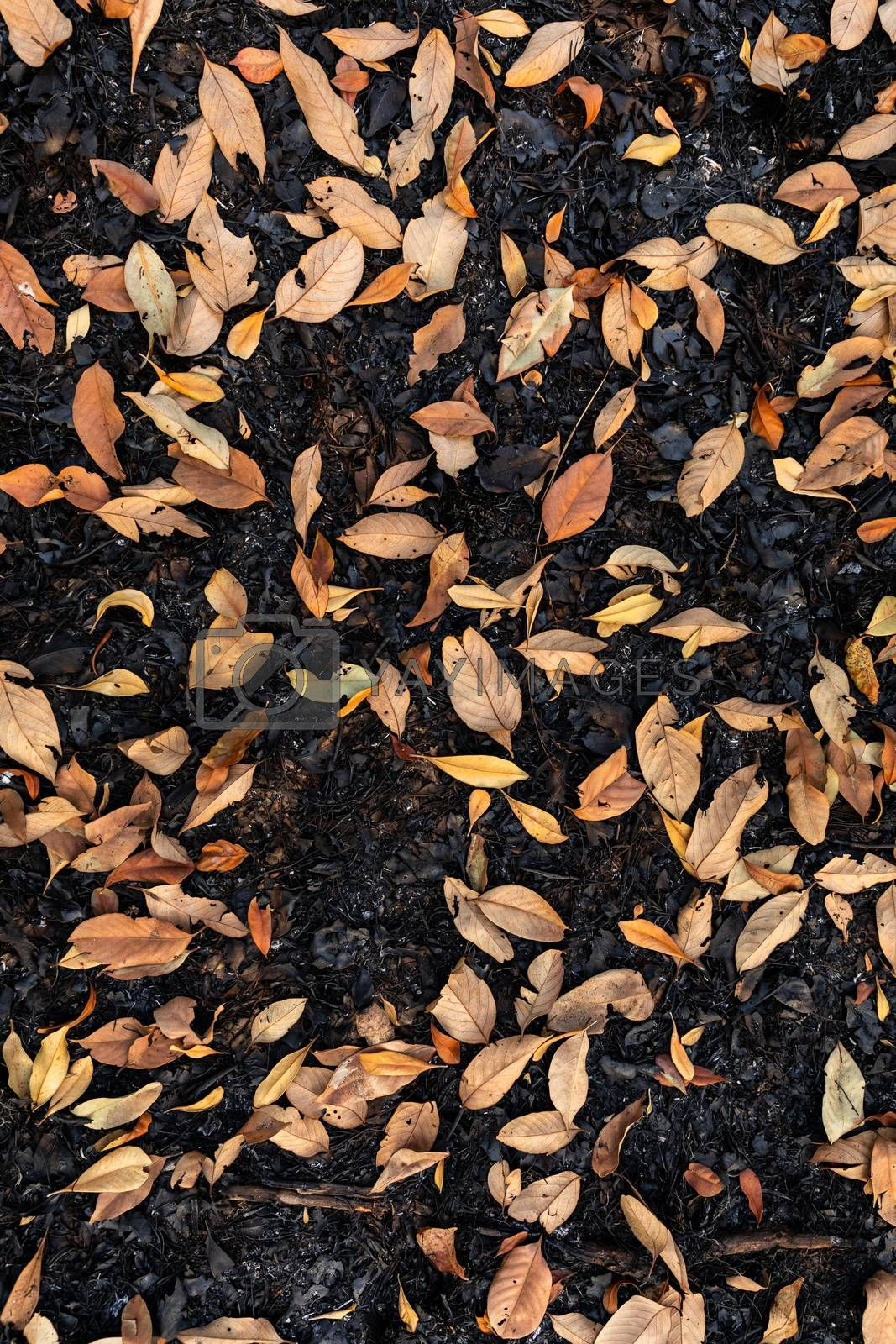 Dry orange leaves on burnt ground in black color after burning from fire in tropical rainforest.