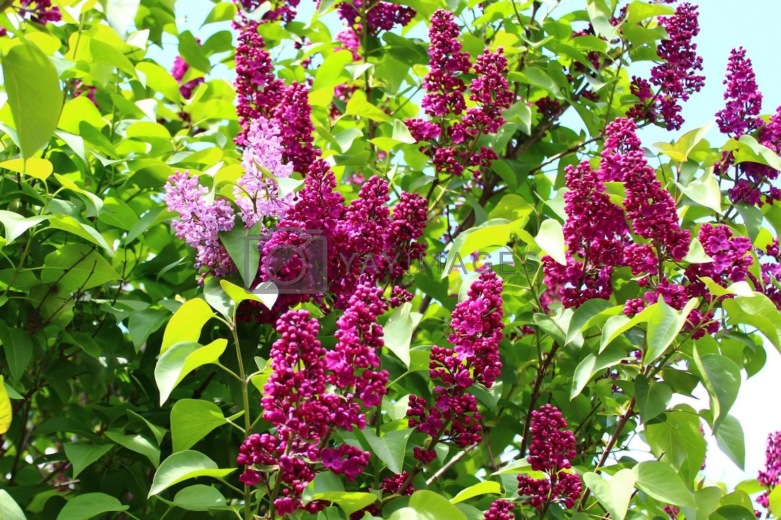 Royalty free image of beautiful lilac in the garden by martina_unbehauen
