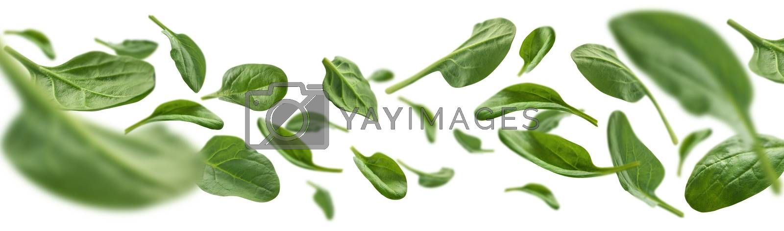 Green spinach leaves levitate on a white background.