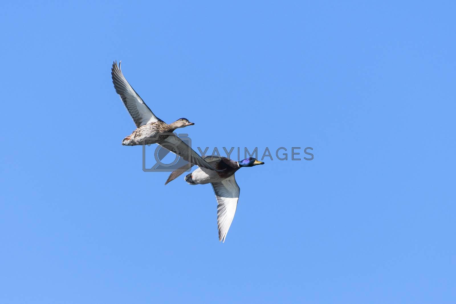 Common Waterfowl in Colorado. Mallard Ducks in Flight