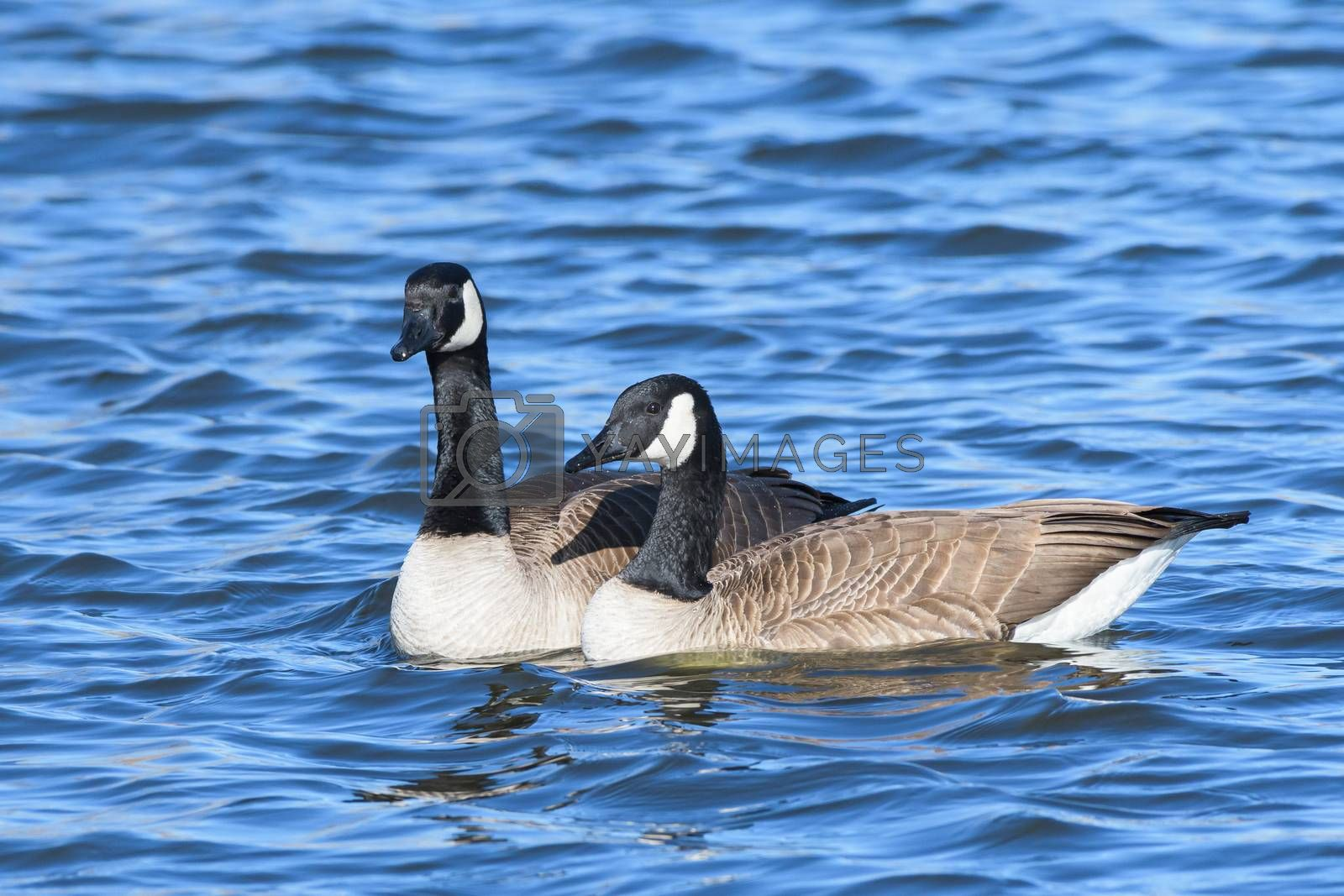 Migratory birds of Colorado. Canada Geese in a clear water lake.