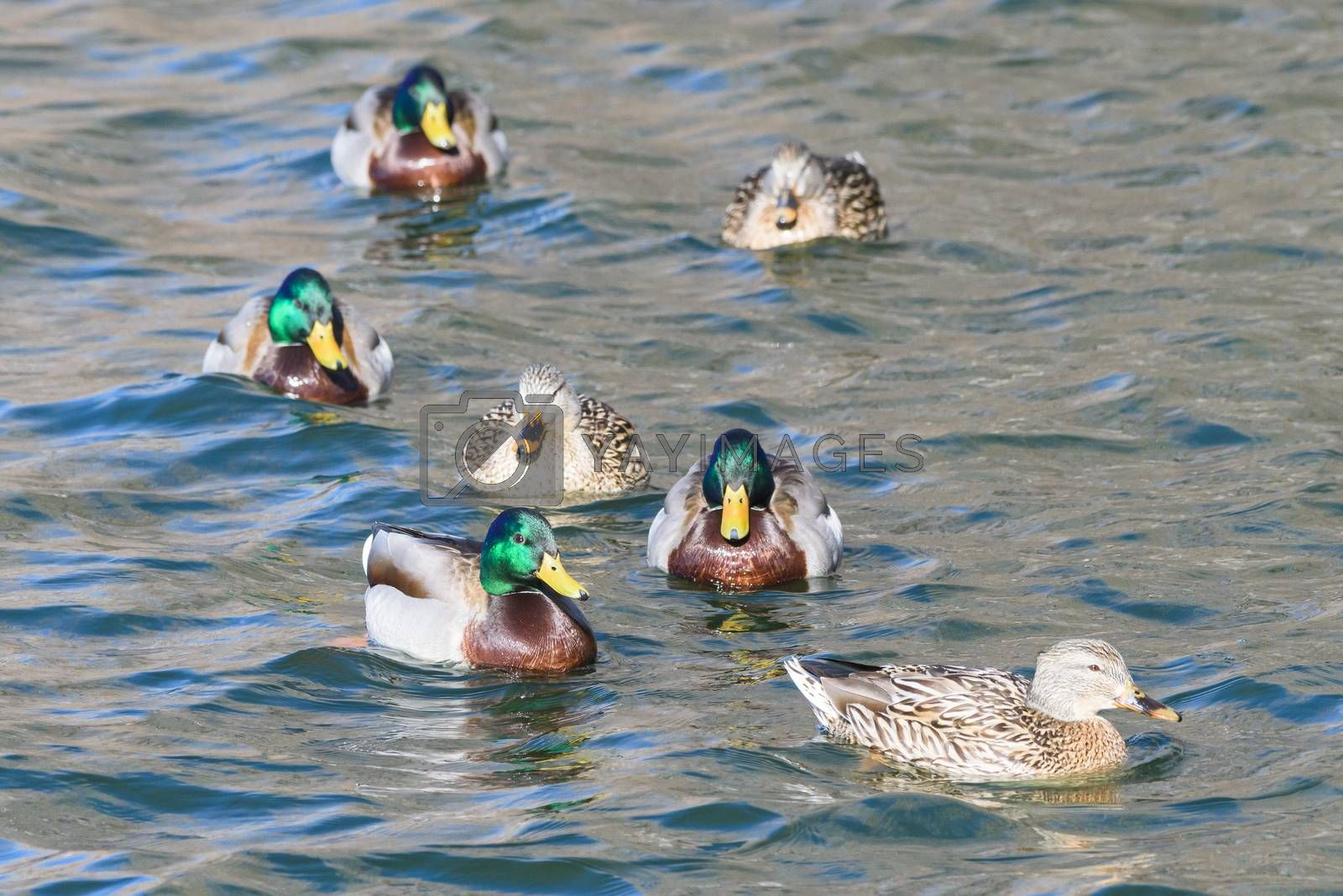 Common Waterfowl in Colorado. Mallard Duck Swimming in Water