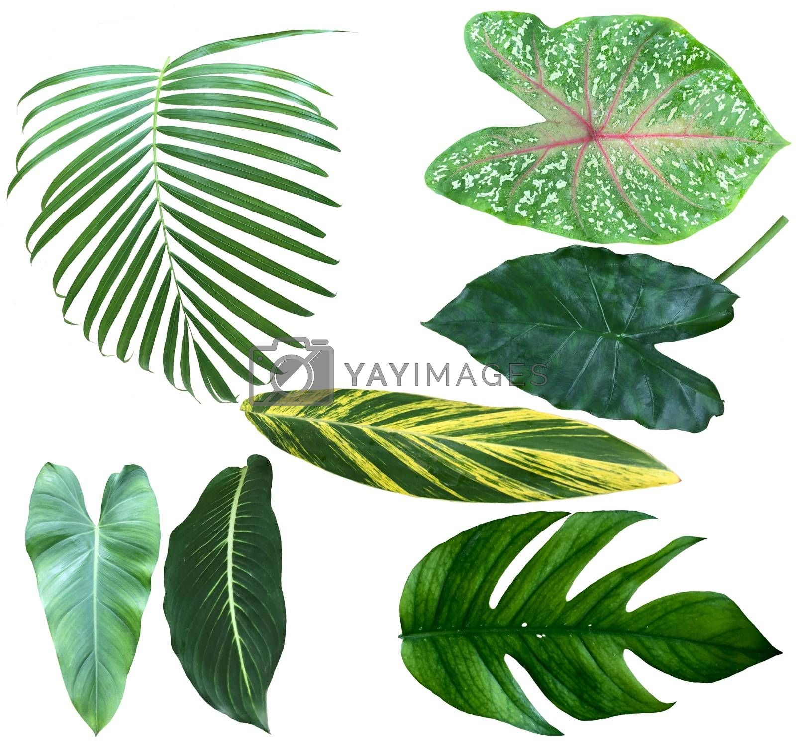 Set of different tropical green leaves isolated on white background.