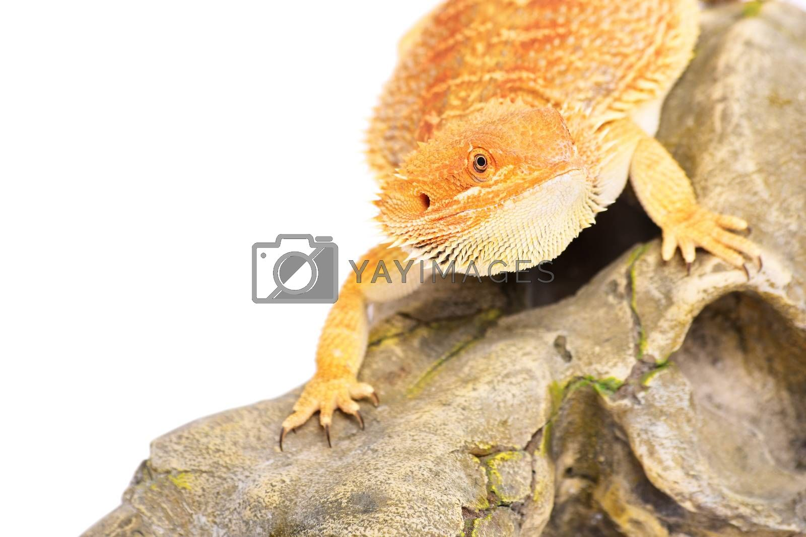 Young bearded dragon standing on a rocky surface looking for pray, isolated on a white background.