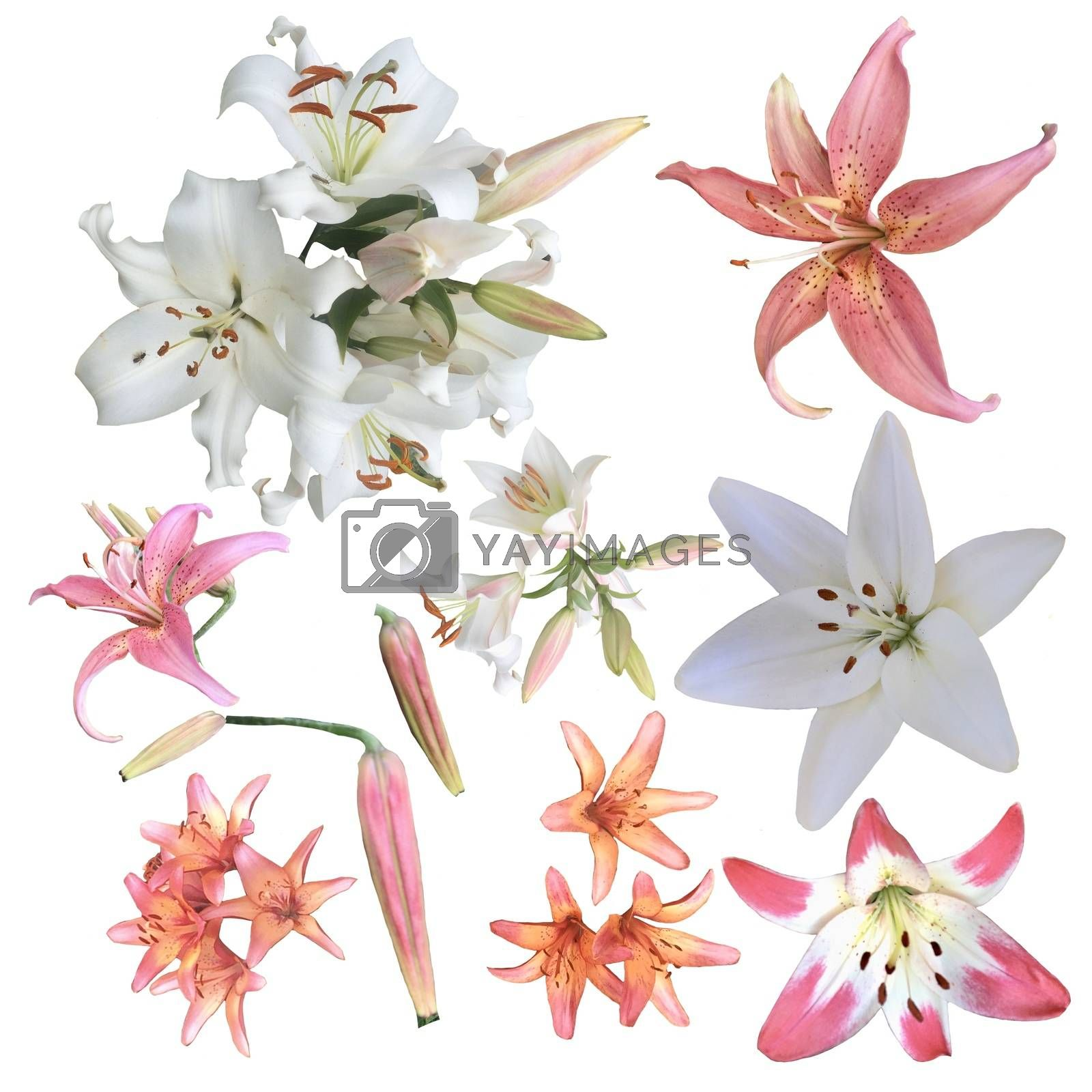 Set of fresh lileis flowers isolated on white background. Collection of white and pink lily decoration element.