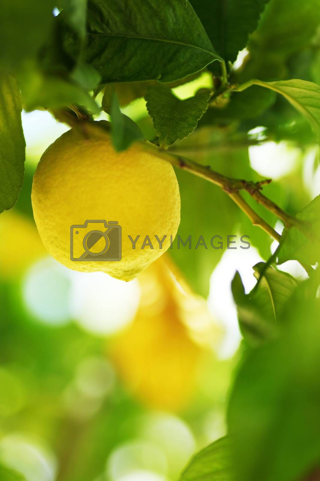 Lemon fruit close up on tree branch