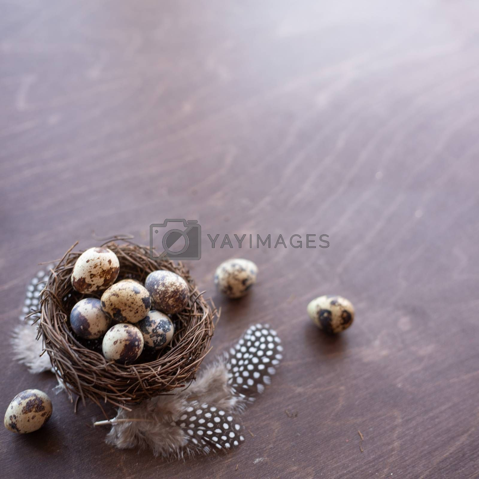 Quail eggs and feathers in nest on dark wooden background with copy space , easter eggs, easter nest concept