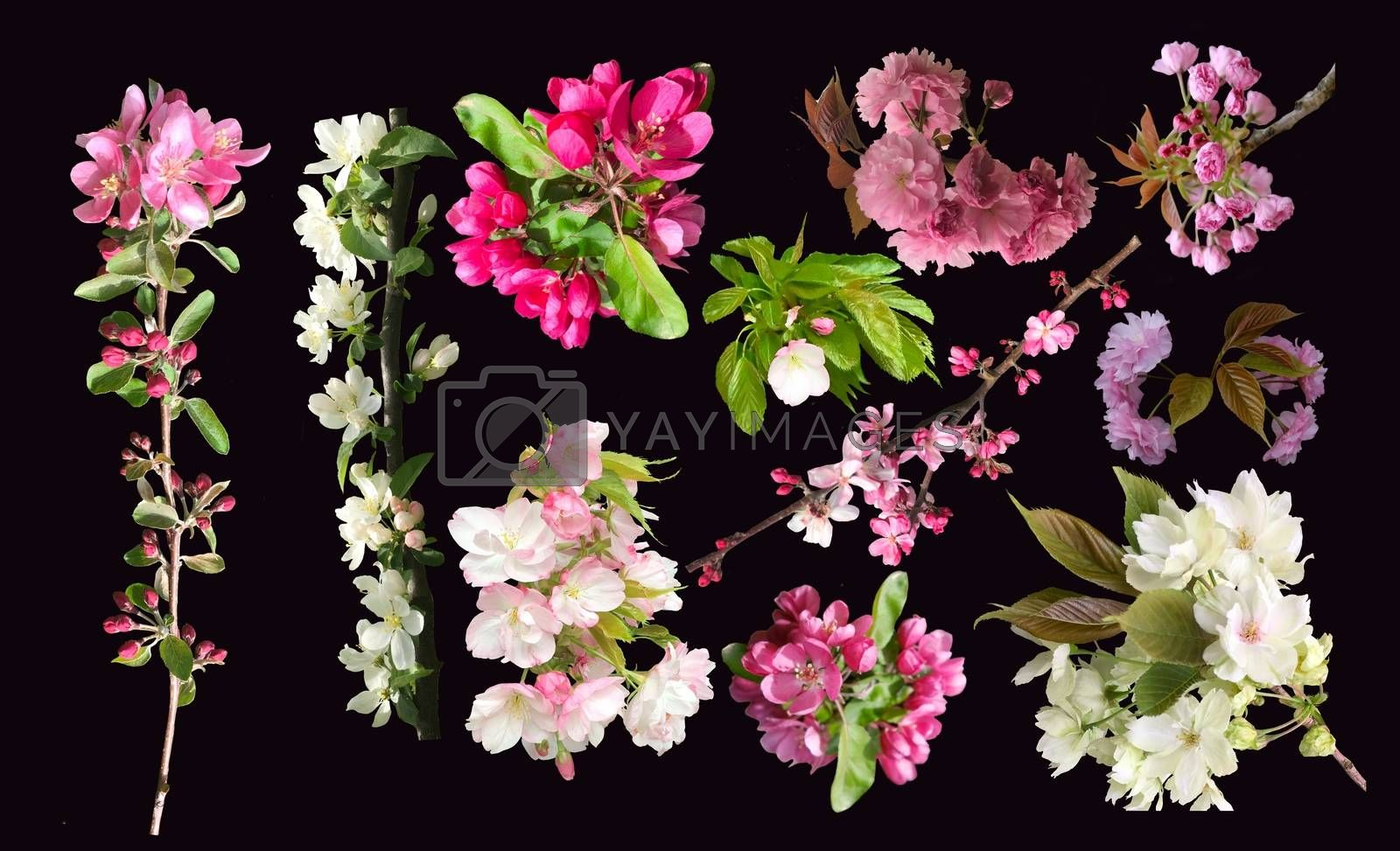 Collection of spring blossom and branch of cherry, sakura and apple tree flowers blooming. Isolated on black background.
