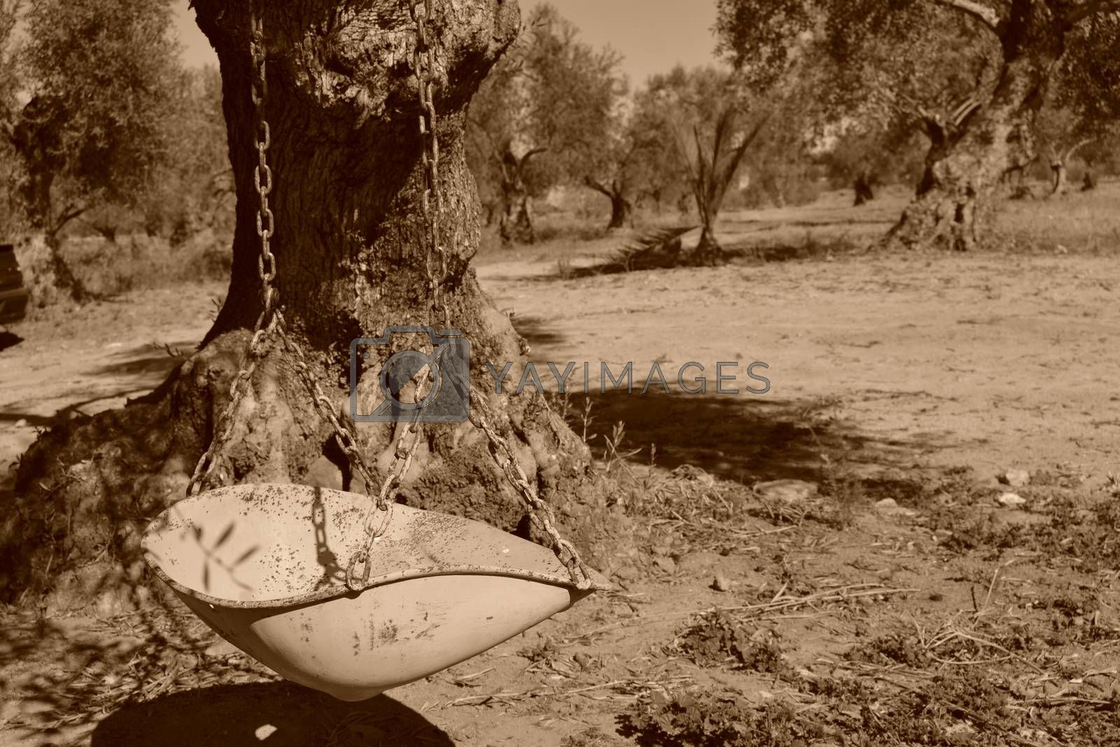 Sepia photo of an old black and white swing, subject to the branches of an olive tree.