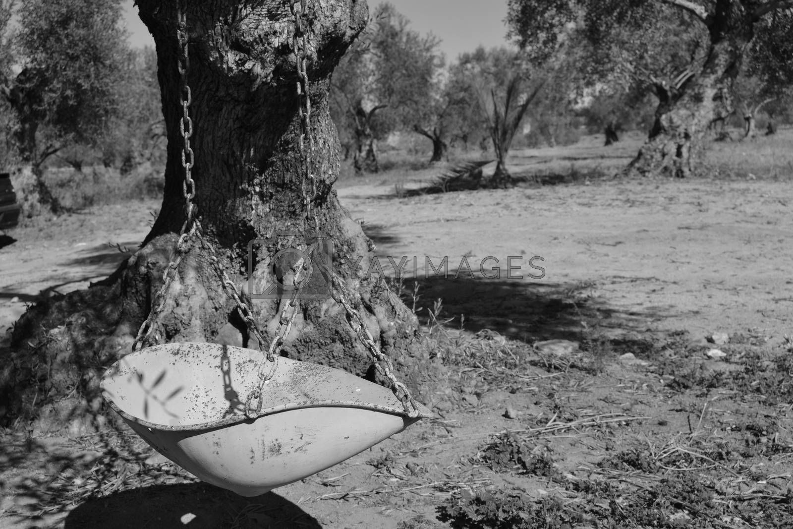 Old swing in black and white, subject for the branches of an olive tree